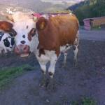 Krávy ze sousední farmy